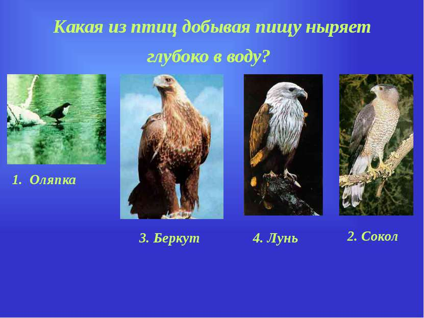 Какая из птиц добывая пищу ныряет глубоко в воду? 1. Оляпка 2. Сокол 4. Лунь ...