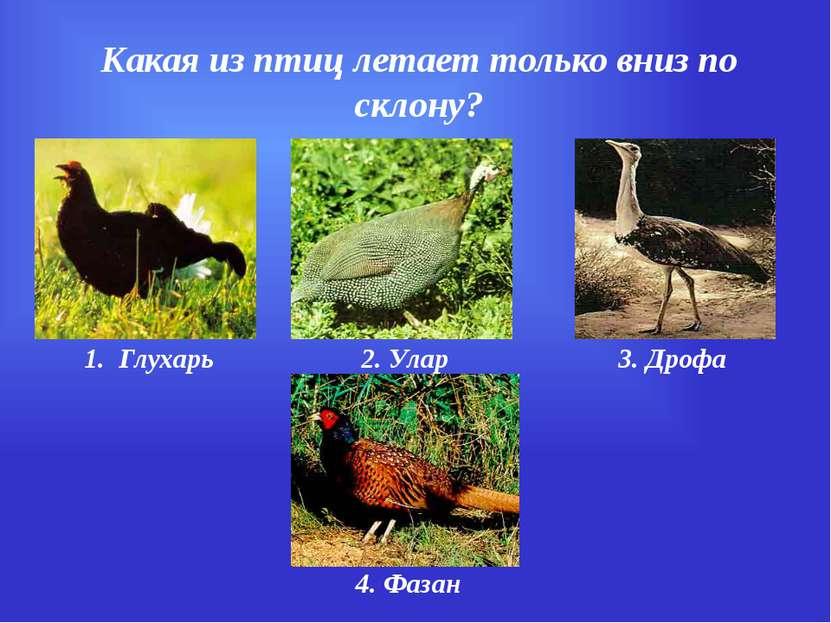 Какая из птиц летает только вниз по склону? 1. Глухарь 2. Улар 3. Дрофа 4. Фазан