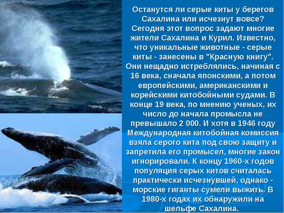 Останутся ли серые киты у берегов Сахалина или исчезнут вовсе? Сегодня этот в...