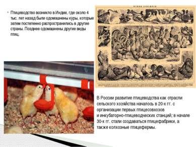 Птицеводствовозникло в Индии, где около 4 тыс. лет назад были одомашнены кур...