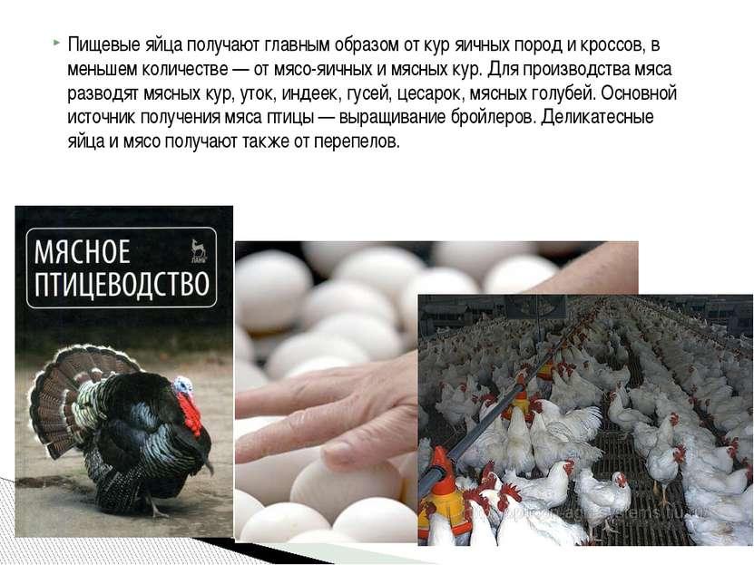 Пищевые яйца получают главным образом от кур яичных пород и кроссов, в меньше...