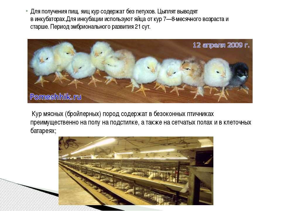 Для получения пищ. яиц кур содержат без петухов. Цыплят выводят винкубаторах...