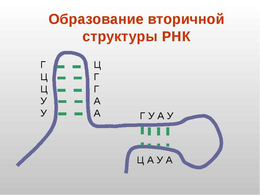 Образование вторичной структуры РНК Г Ц Ц У У Ц Г Г А А Г У А У Ц А У А