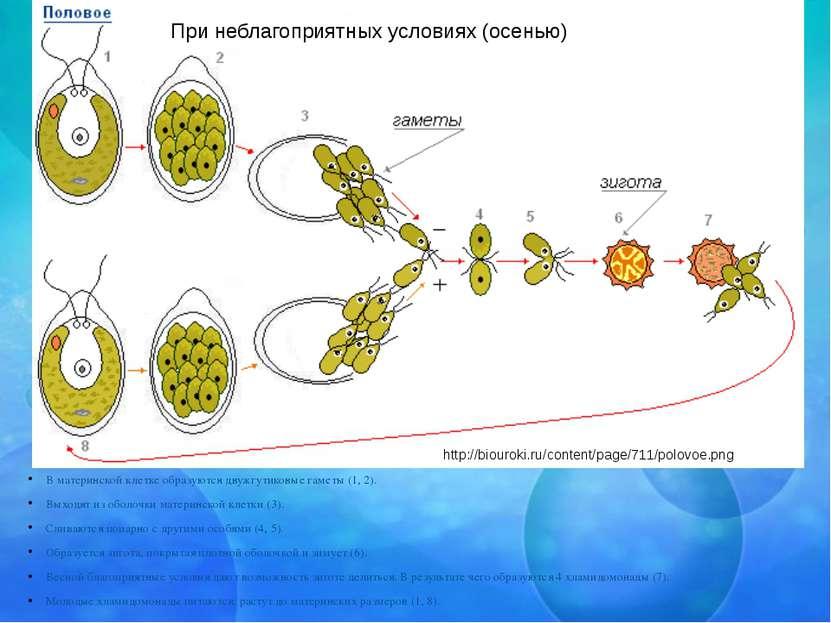 В материнской клетке образуются двужгутиковые гаметы (1, 2). Выходят из оболо...