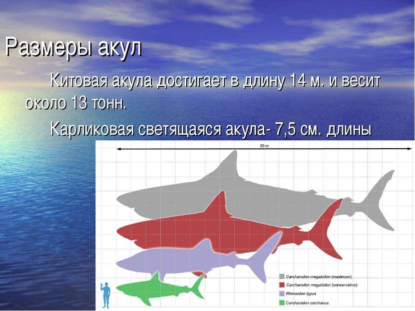 Размеры акул Китовая акула достигает в длину 14 м. и весит около 13 тонн. Кар...