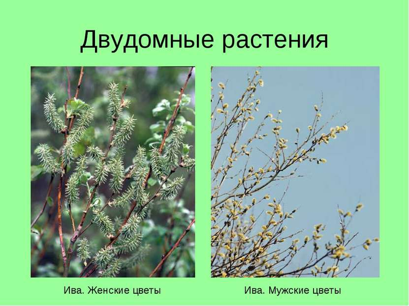 Двудомные растения Ива. Женские цветы Ива. Мужские цветы