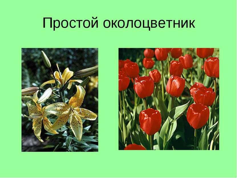 Простой околоцветник