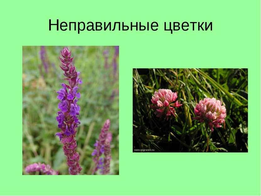Неправильные цветки