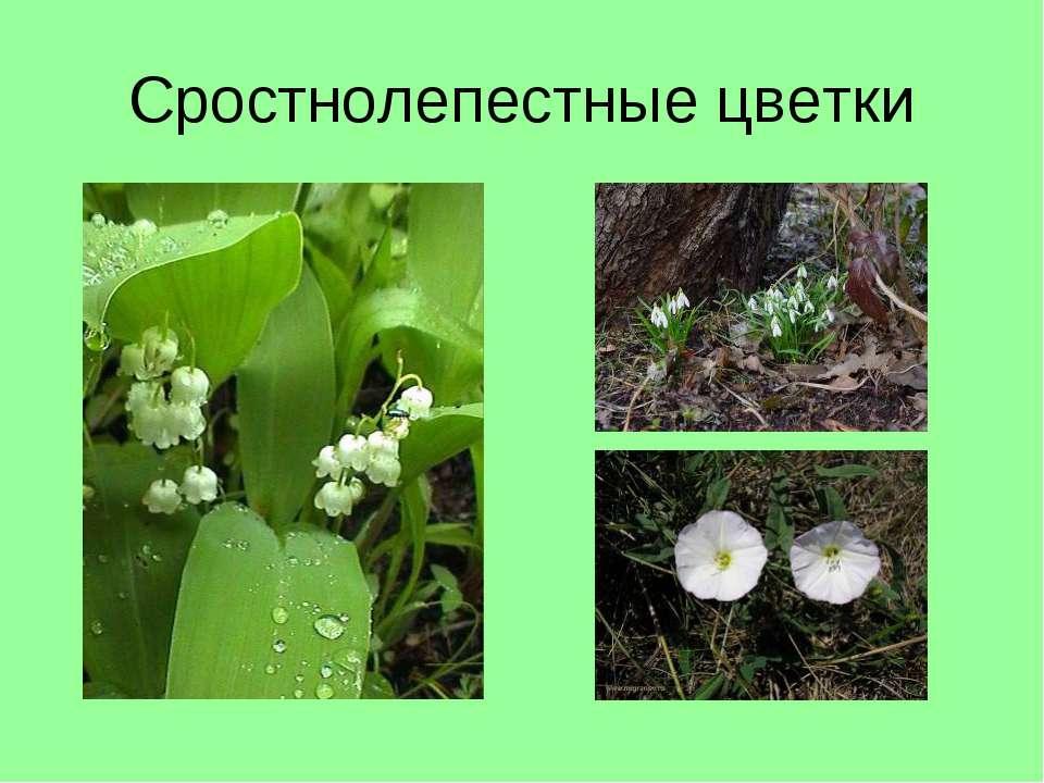 Сростнолепестные цветки
