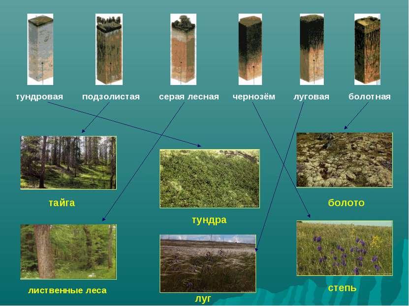 тундра тайга лиственные леса болото луг степь тундровая подзолистая серая лес...