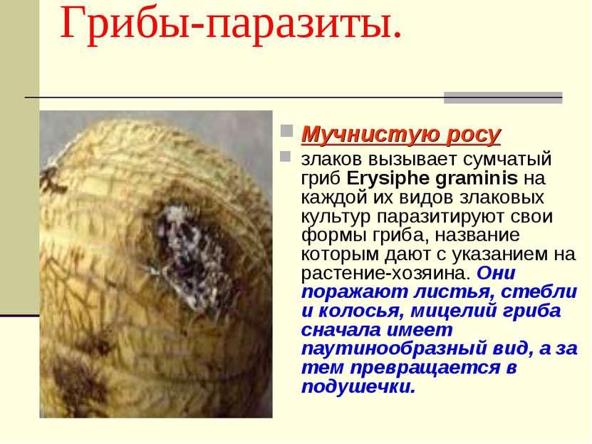 Грибы-паразиты. Мучнистую росу злаков вызывает сумчатый гриб Erysiphe gramini...