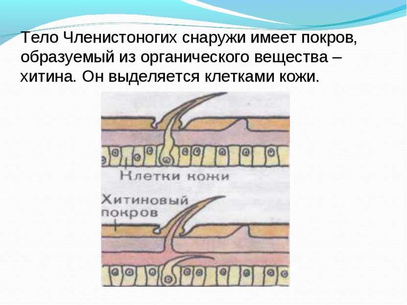 Тело Членистоногих снаружи имеет покров, образуемый из органического вещества...