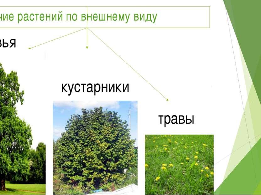 Различие растений по внешнему виду деревья кустарники травы