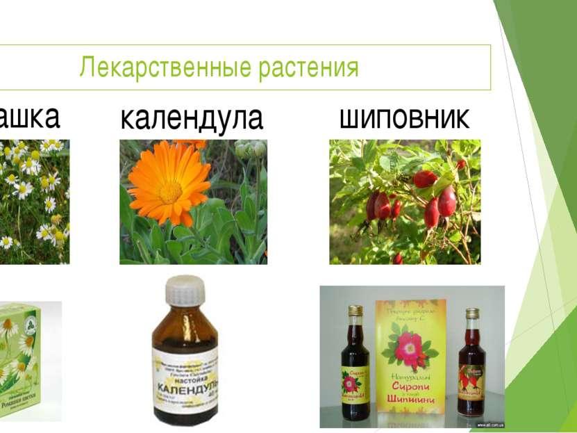 Лекарственные растения ромашка календула шиповник