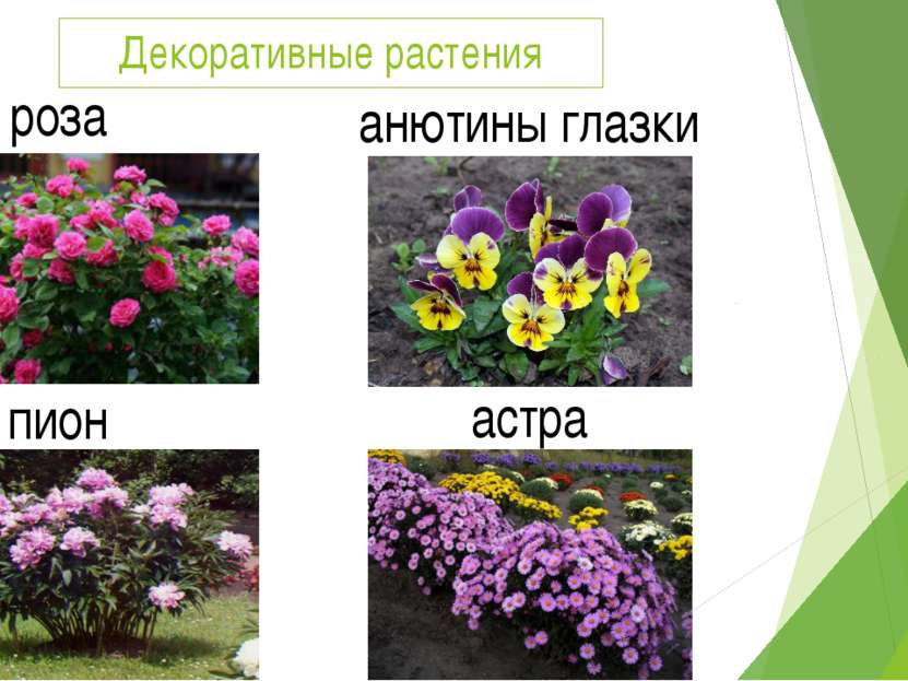 Декоративные растения роза анютины глазки пион астра