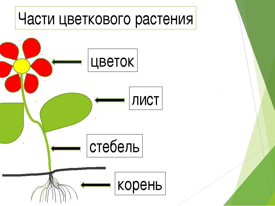 корень стебель лист цветок Части цветкового растения