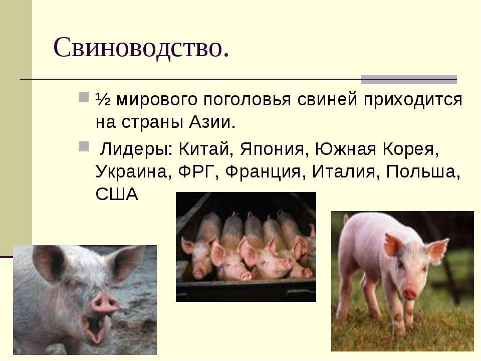 Свиноводство. ½ мирового поголовья свиней приходится на страны Азии. Лидеры: ...