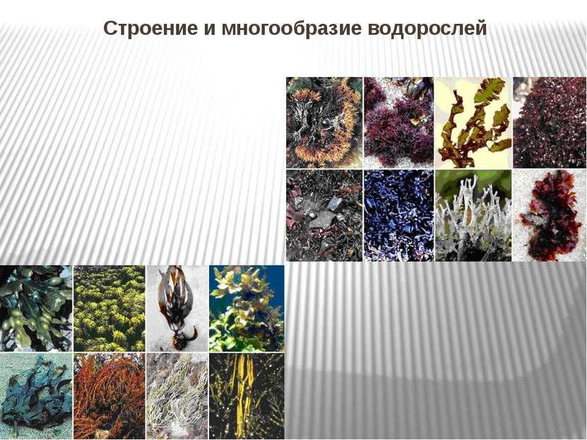 Строение и многообразие водорослей