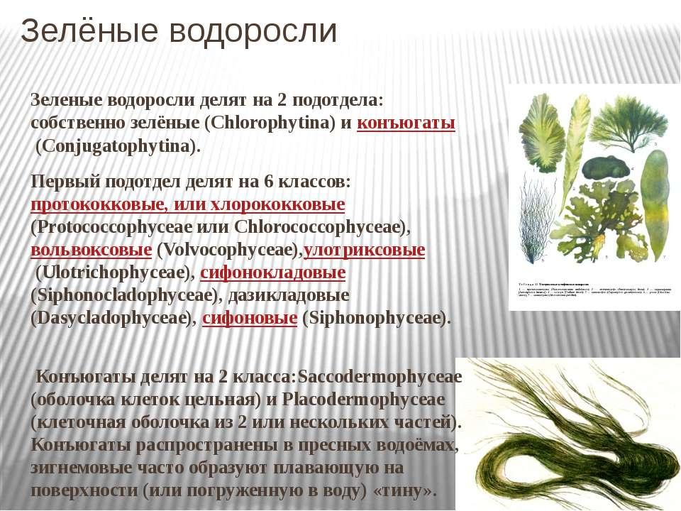 Зелёные водоросли Зеленые водоросли делят на 2 подотдела: собственно зелёные ...