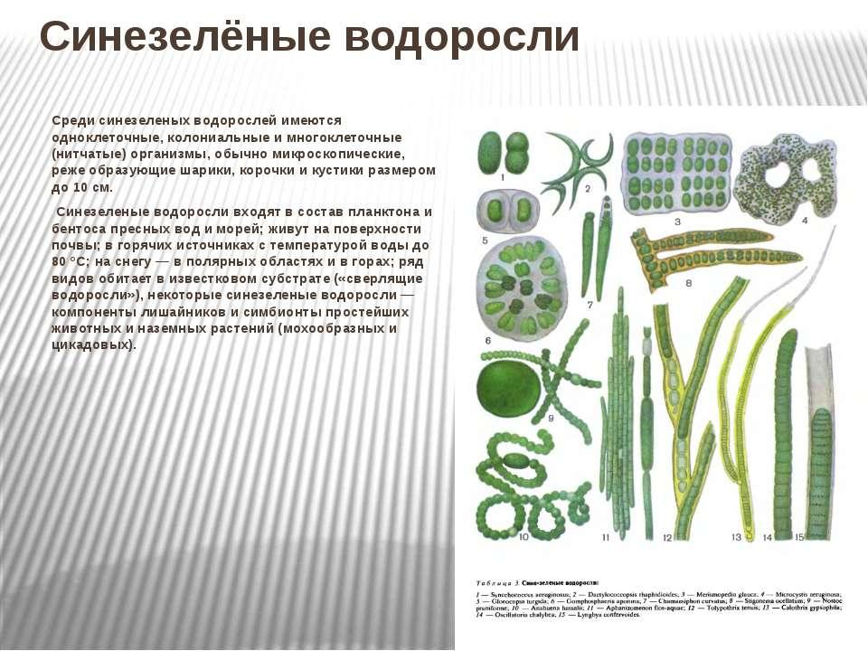 Синезелёные водоросли Среди синезеленыхводорослей имеются одноклеточные, кол...