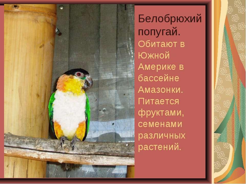 Белобрюхий попугай. Обитают в Южной Америке в бассейне Амазонки. Питается фру...