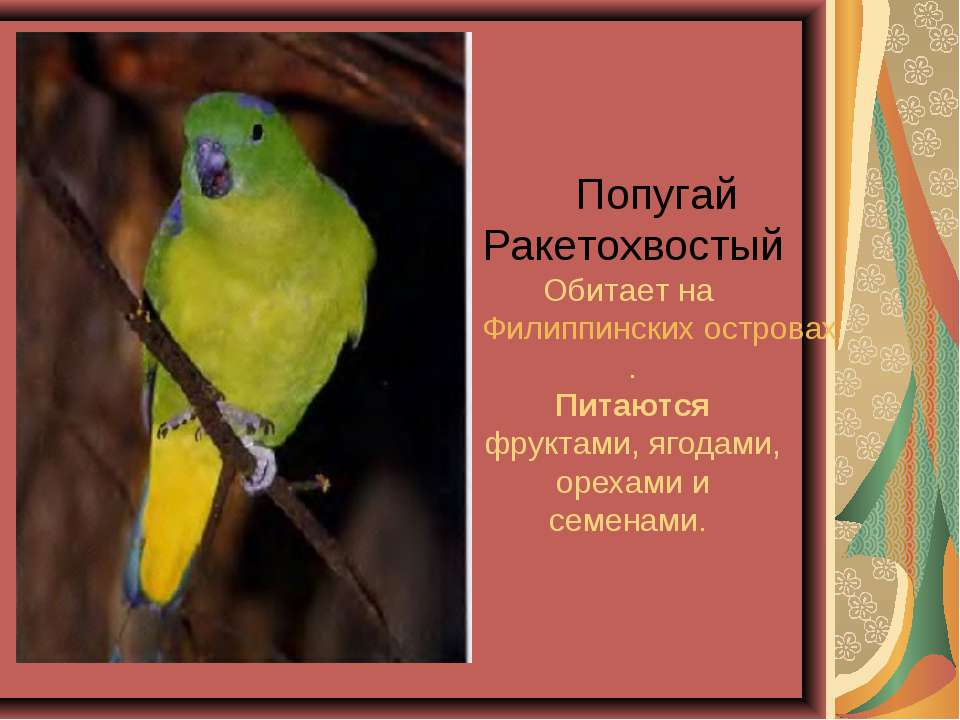 Попугай Ракетохвостый Обитает на Филиппинских островах. Питаются фруктами, яг...