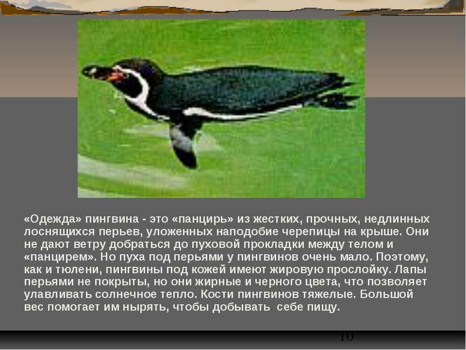 «Одежда» пингвина - это «панцирь» из жестких, прочных, недлинных лоснящихся п...