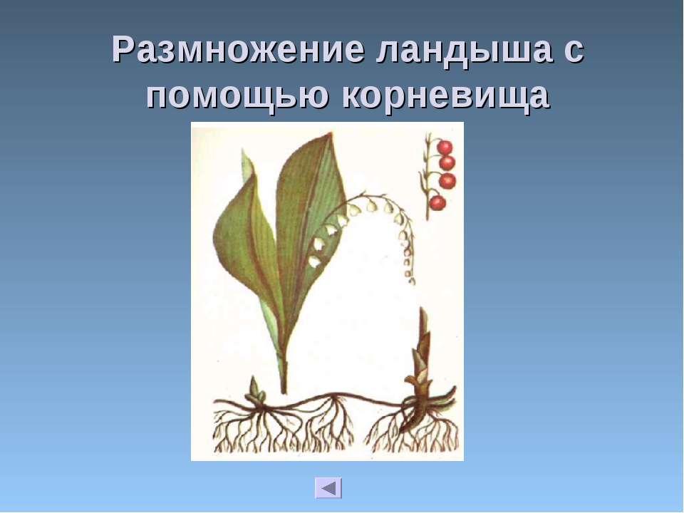 Размножение ландыша с помощью корневища