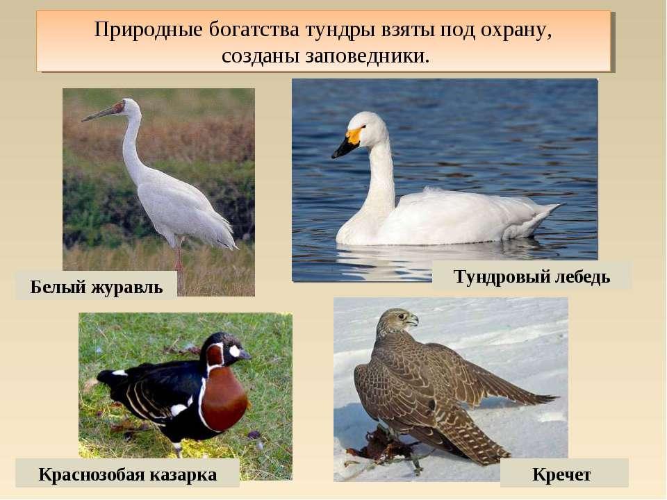 Природные богатства тундры взяты под охрану, созданы заповедники. Белый журав...