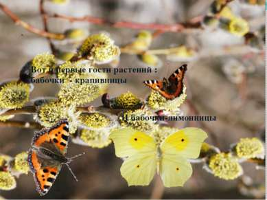 Вот и первые гости растений : бабочки - крапивницы И бабочки-лимонницы