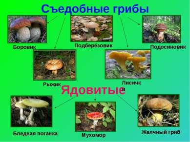 Съедобные грибы Ядовитые Боровик Подосиновик Подберёзовик Рыжик Лисички Бледн...