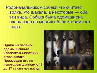 Родоначальником собаки кто считает волка, кто шакала, а некоторые — оба эти в...