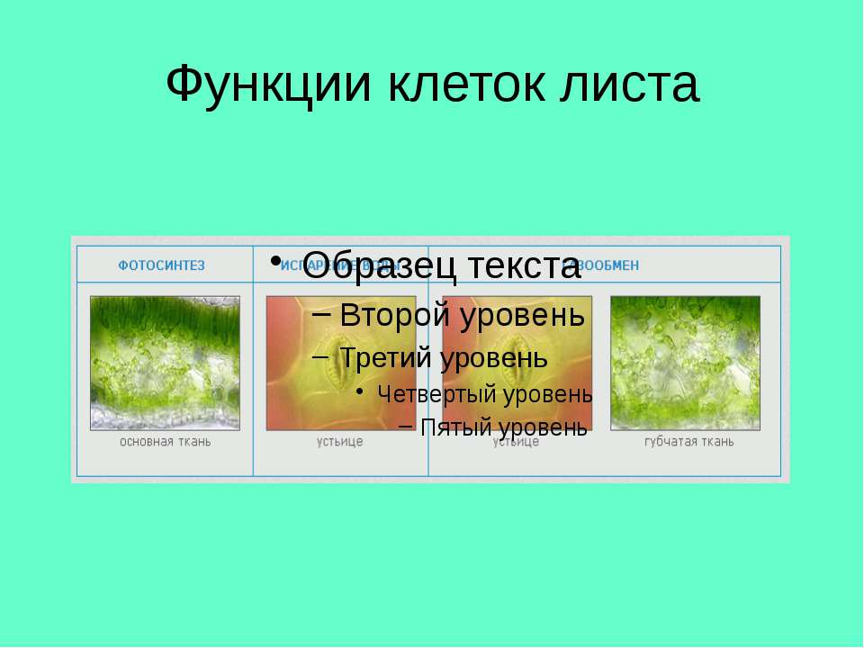 Функции клеток листа