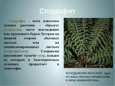 Спорофит Спорофит - всем известное зеленое растение - образует спорангии, час...