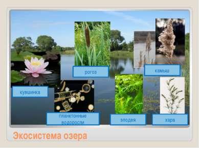 Экосистема озера кувшинка рогоз планктонные водоросли элодея хара камыш