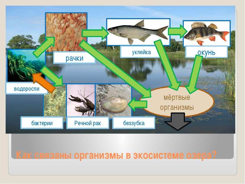 Как связаны организмы в экосистеме озера? мёртвые организмы окунь уклейка рач...