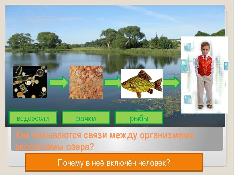 Как называются связи между организмами экосистемы озера? водоросли рачки рыбы...