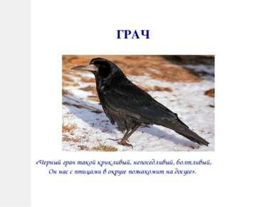 ГРАЧ «Черный грач такой крикливый, непоседливый, болтливый, Он нас с птицами ...