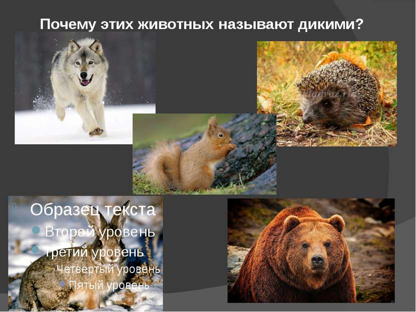 Почему этих животных называют дикими?