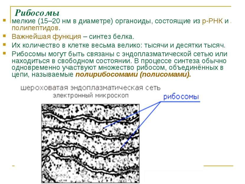 Рибосомы мелкие (15–20нм в диаметре) органоиды, состоящие из р-РНК и полипеп...