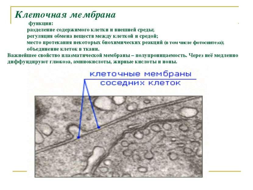 Клеточная мембрана функции: разделение содержимого клетки и внешней среды; ре...