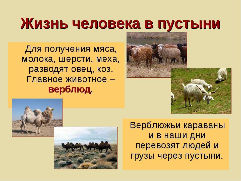 Жизнь человека в пустыни Для получения мяса, молока, шерсти, меха, разводят о...