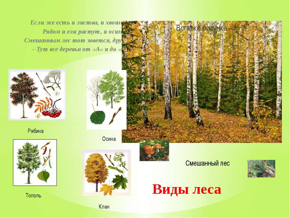 Если же есть и листва, и хвоинки, Рядом и ели растут, и осинки, Смешанным лес...