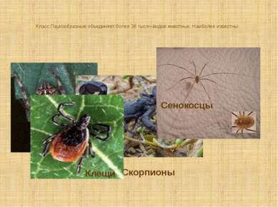 Класс Паукообразные объединяет более 36 тысяч видов животных. Наиболее извест...