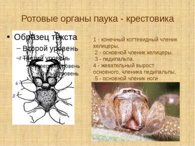 Ротовые органы паука - крестовика 1 - конечный когтевидный членик хелицеры, 2...