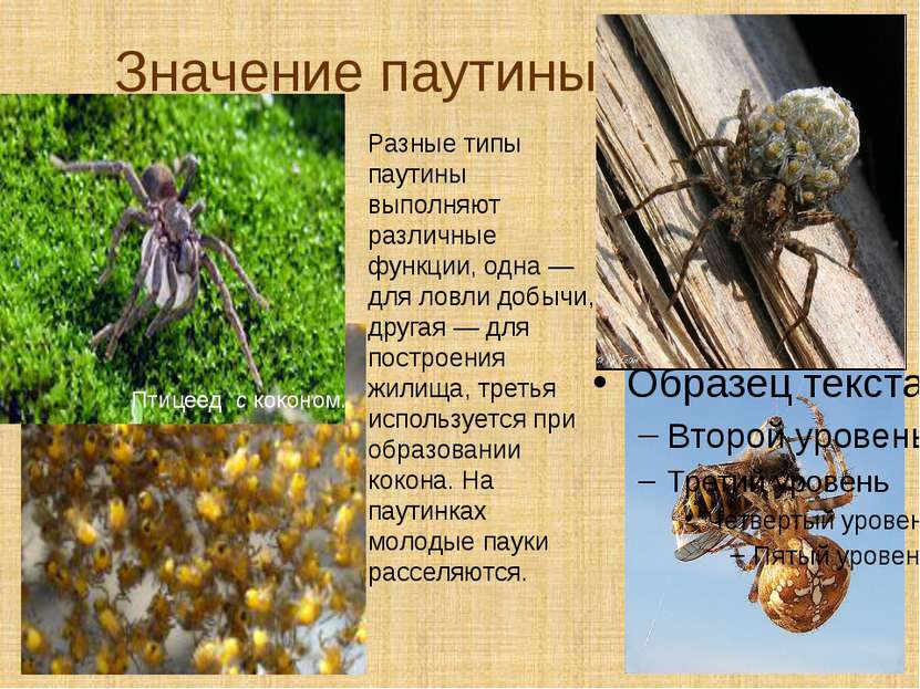 Значение паутины Птицеед с коконом. Разные типы паутины выполняют различные ф...