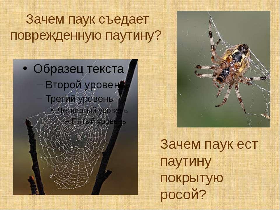 Зачем паук съедает поврежденную паутину? Зачем паук ест паутину покрытую росой?