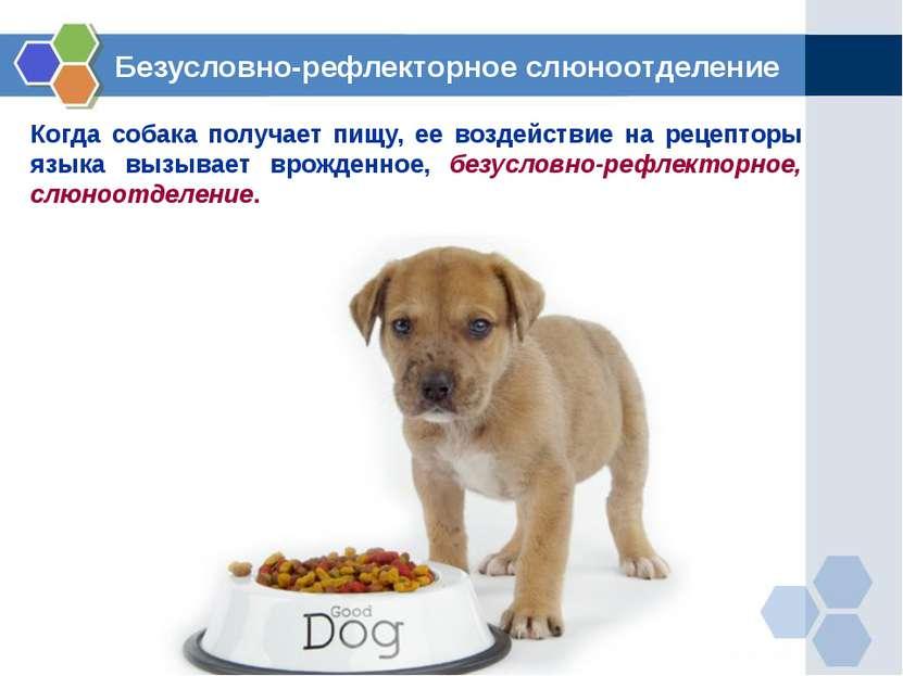 Когда собака получает пищу, ее воздействие на рецепторы языка вызывает врожде...