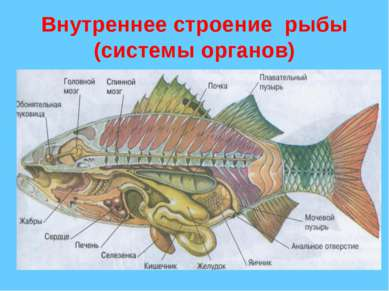Внутреннее строение рыбы (системы органов)