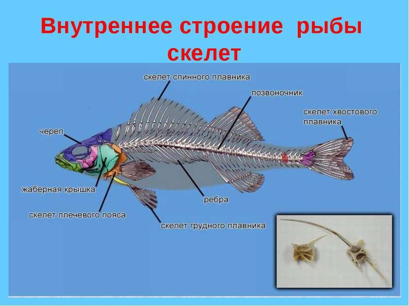 Внутреннее строение рыбы скелет